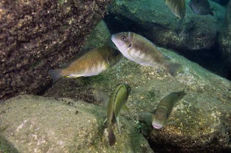 Petrochromis orthognathus à Helembe.