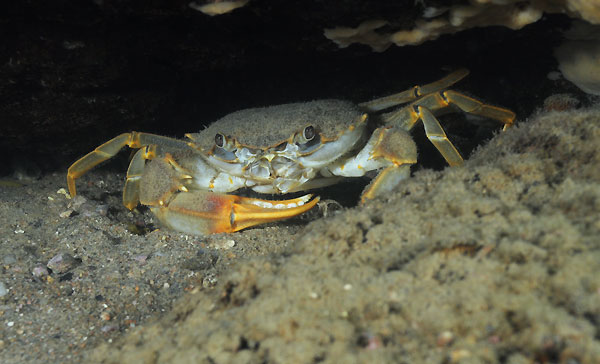 Potamonautes immaculatus (Mtosi)