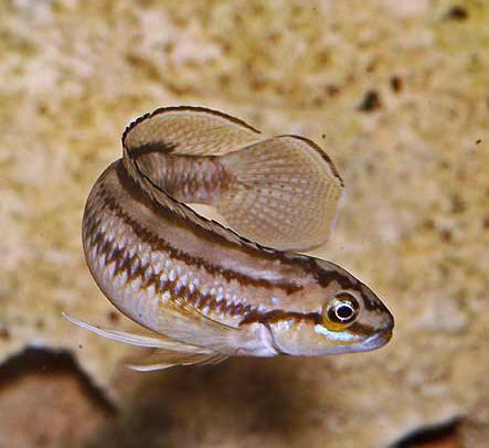 Telmatochromis bifrenatus, male sauvage en aquarium.