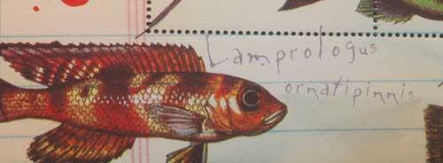 Neolamprologus ornatipinnis, timbre de conchylicole.