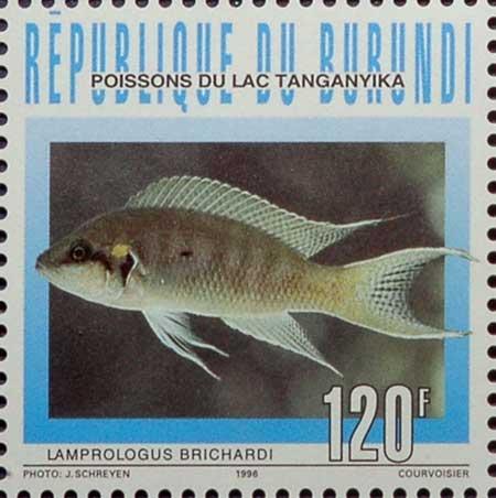Timbre de Neolamprologus brichardi de Magara au Burundi.