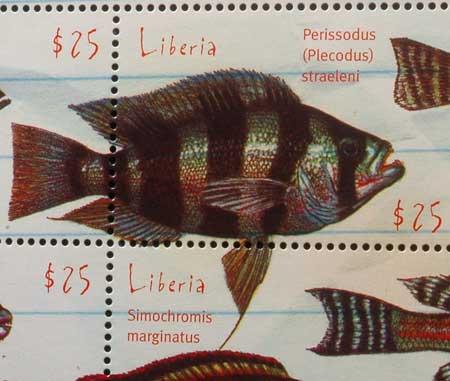 Plecodus straeleni, mangeur d'écailles en timbre | cichlidé du lac Tanganyika.