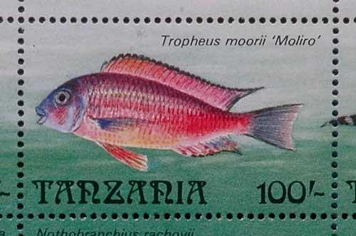 Tropheus sp. red de Moliro, timbre de Tanzanie.