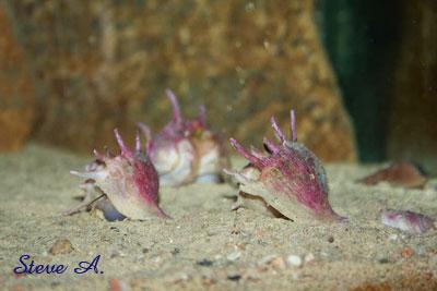 Tiphobia horei en aquarium.