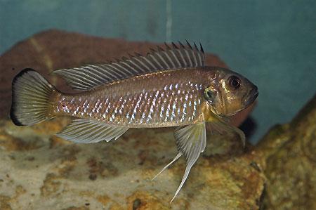 Triglachromis otostigma, mâle en aquarium.
