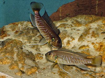 Triglachromis en posture d'appel pour l'échange des larves.