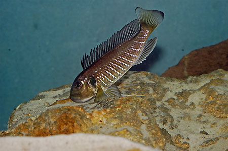 Triglachromis otostigma, femelle en posture de transfert des oeufs.