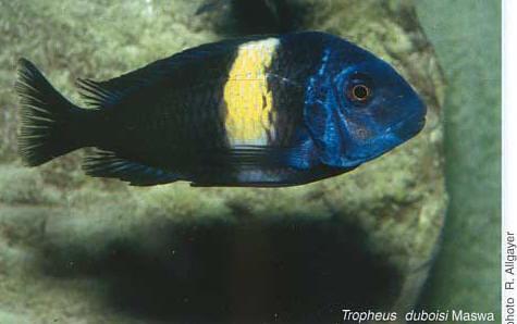 "Tropheus duboisi ""Maswa"", en aquarium."