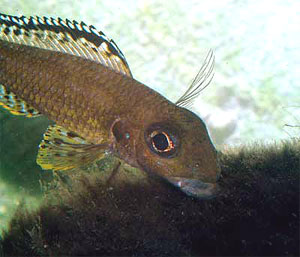 Xenotilapia papilio picorant un substrat d'algues.