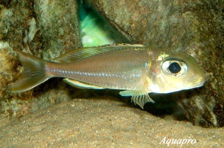 Xenotilapia ornatipinnis en aquarium