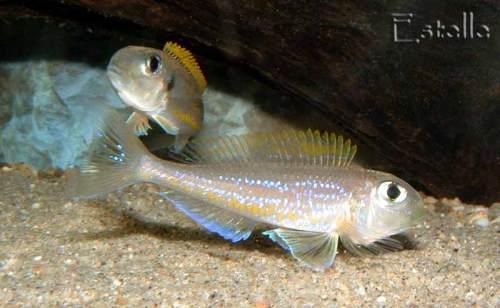 Xenotilapia flavipinnis Mpulungu mâle en parade.