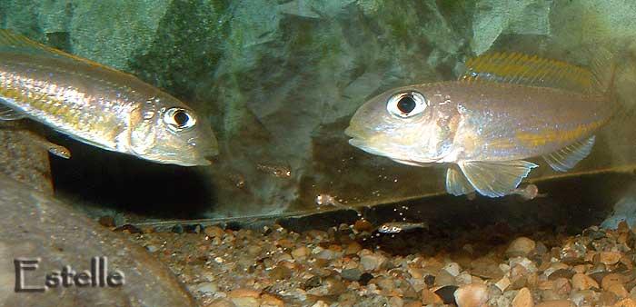 Xenotilapia flavipinnis couple et alevins.