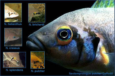 Neolamprologus complexe marques.jpg (69021 octets)