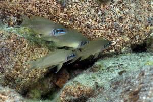 Neolamprologus brichardi Lupita/Ulwile