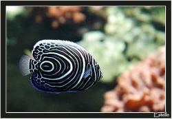 maao-pomacanthus