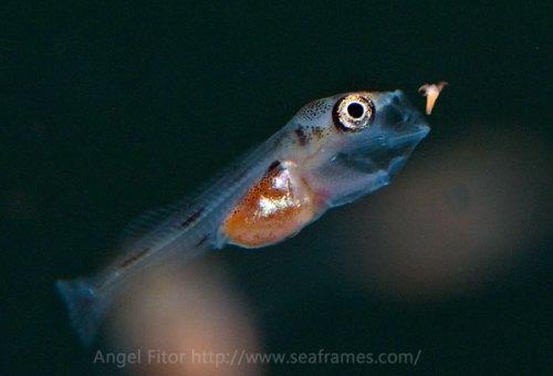 Triglachromis et artemia