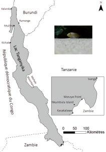 Neolamprologus callipterus carte
