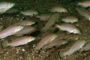 Groupe de mâles N. callipterus à Mtosi.