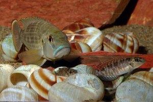 Neolamprologus callipterus (mâle et femelles) en aquarium.