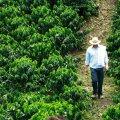 Plantation de café en Colombie