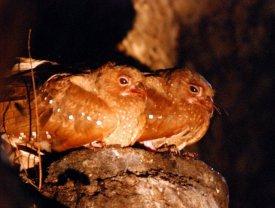 """Photo de deux oiseaux """"Guácharo"""", symboles du Parc naturel national Cueva de los Guácharos"""