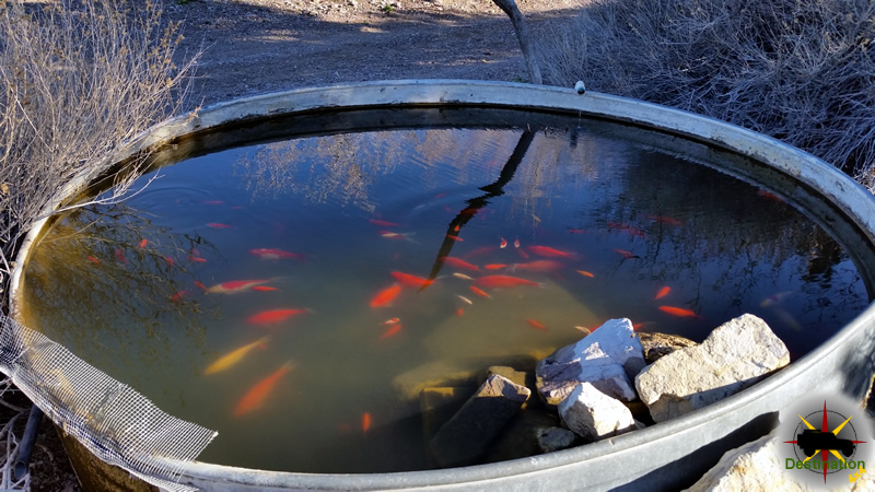 The rare Mojave Gold fish in its natual environment. Photo by James L Rathbun
