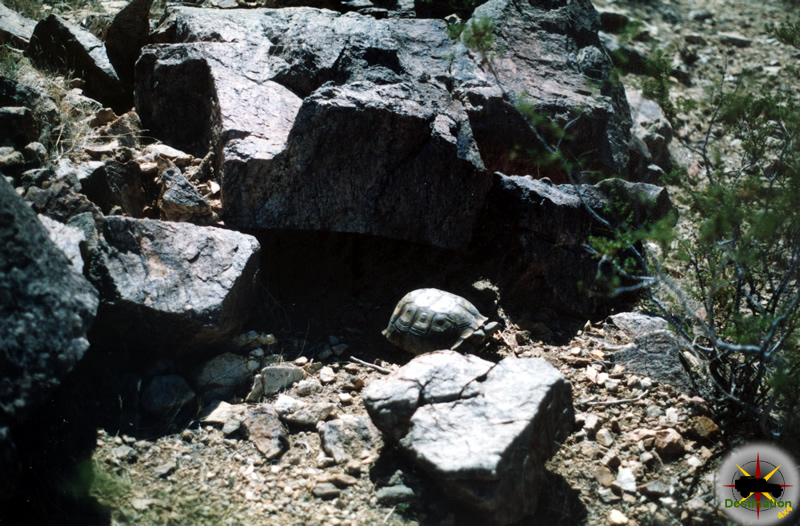 California Desert Tortoise emerging from a hiding place...