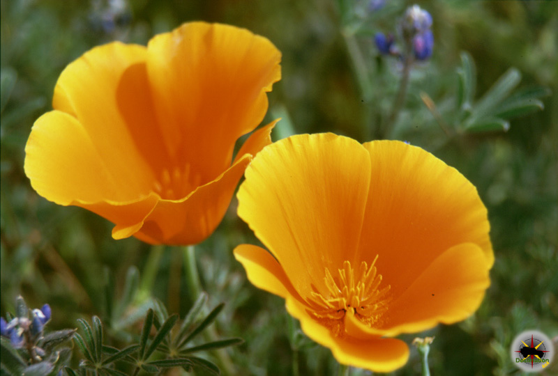 The California Poppy the state flower of California.