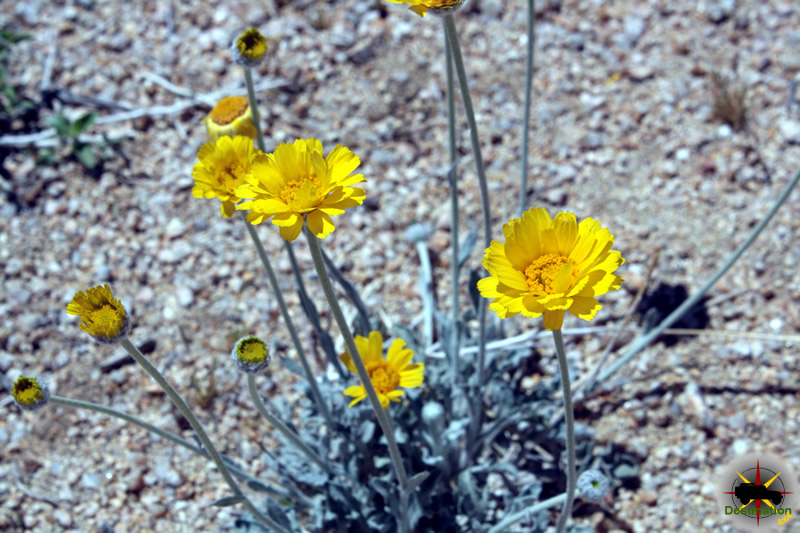 Desert Marigolds located off the Old Mojave Road.