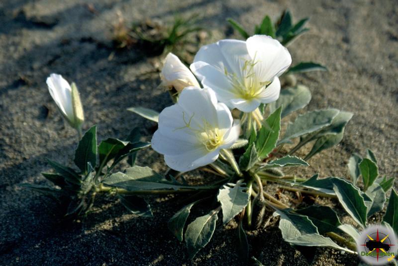 Desert Primrose photographed in Anza Burego, CA