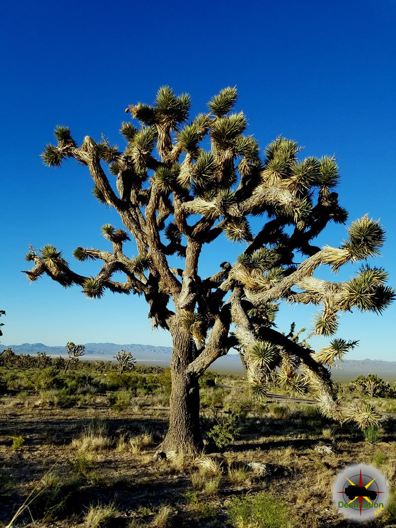 Joshua Tree located in the Mojave National Preserve.