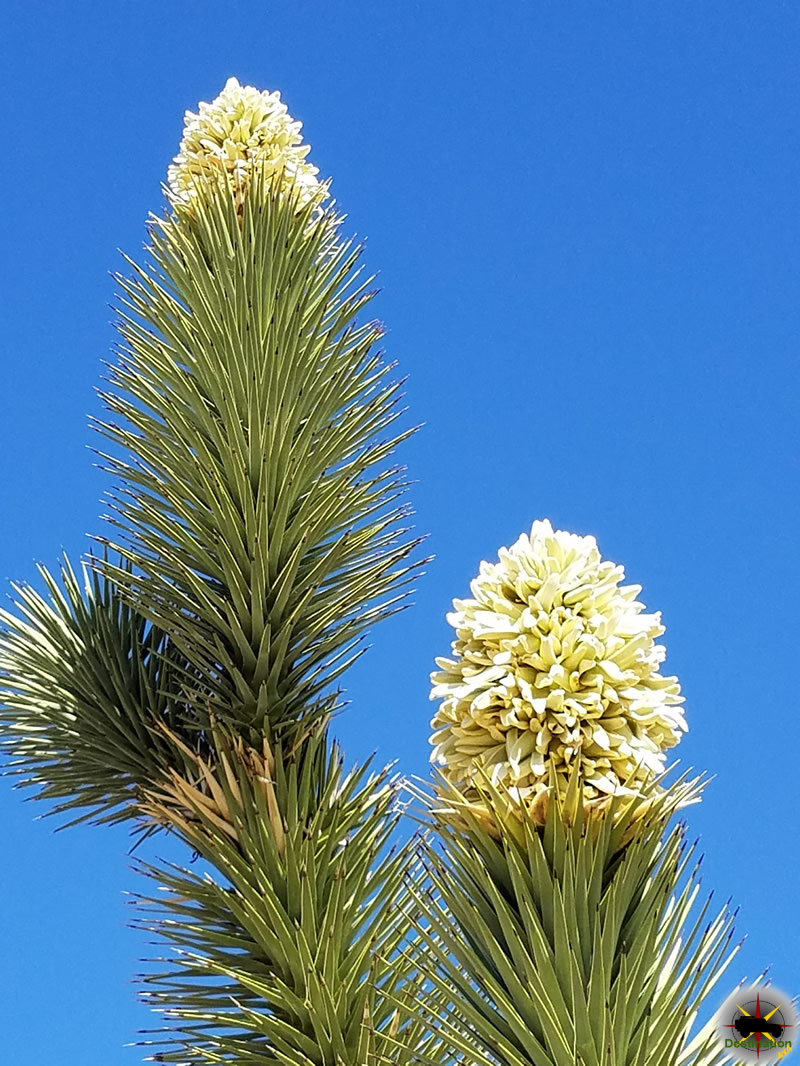 Joshua Tree Bloom are found in the spring month in the Mojave National Preserve. Photograph by James L Rathbun