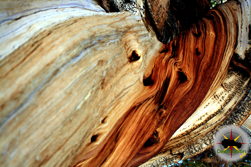Bristlecone pine wood contorted with age and environment.