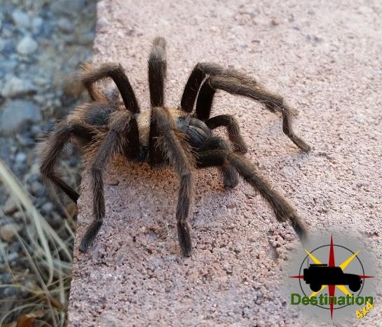 Desert Tarantula (Aphonopelma iodius)