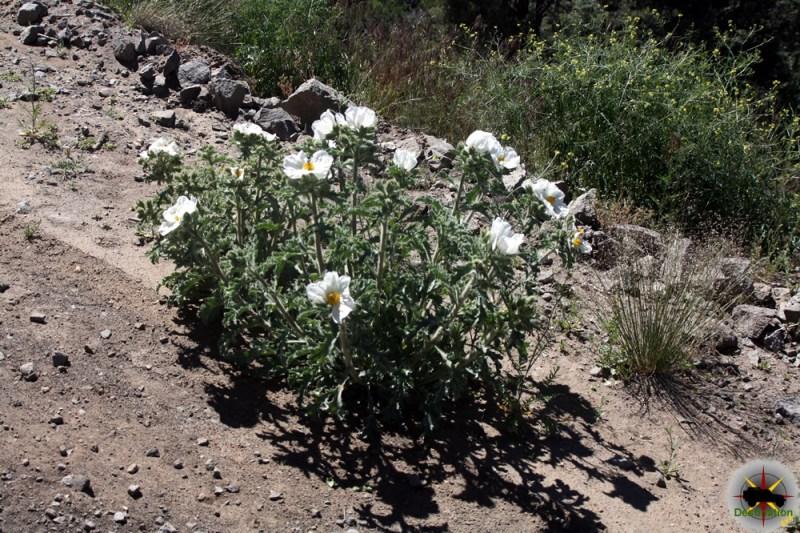 Chicalote (Argemone munita) on the roadside into Bodie, CA