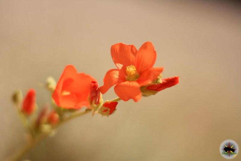Globemallow (Sphaeralcea ambigua)