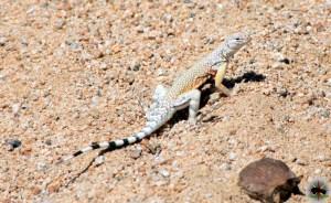 A male Zebra-Tailed Lizard ( Callisaurus draconoides )