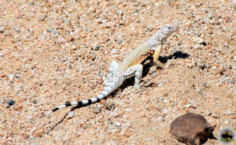 A male Zebra-Tailed Lizard ( Callisaurus draconoides ) is a great example of a reptiles