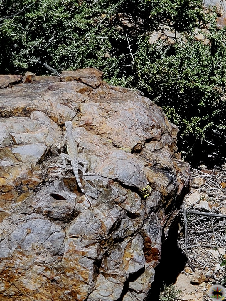 Flora and Fauna - A Zebra Tailed lizard photographed ny my lovely wife in the Ivanpah Mountains of California.