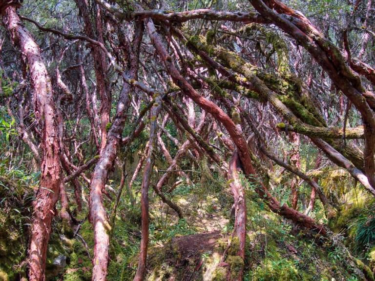 Cajas National Park paper tree forrest