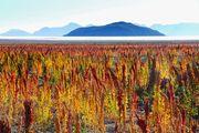 Champ de quinoa - Bolivie