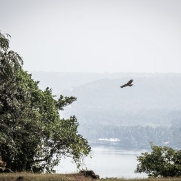 Eagle circling over Chapora fort