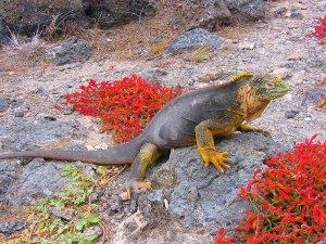 Iguanas das Ilhas Galapagos. Autor: Óskar Guðlaugsson