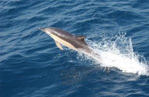 Golfinhos na Nazaré