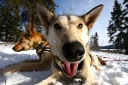 Husky Yukon Winter