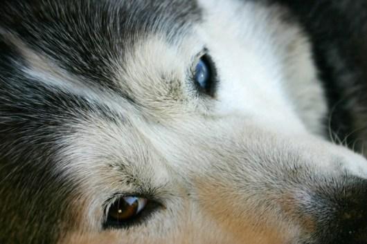 Husky Yukon