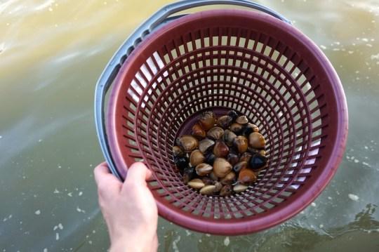 Muscheln sammeln Malaysia