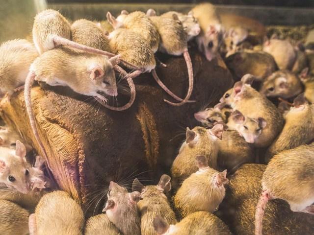 Descubre la solución para acabar con la infestación de ratas en tu casa