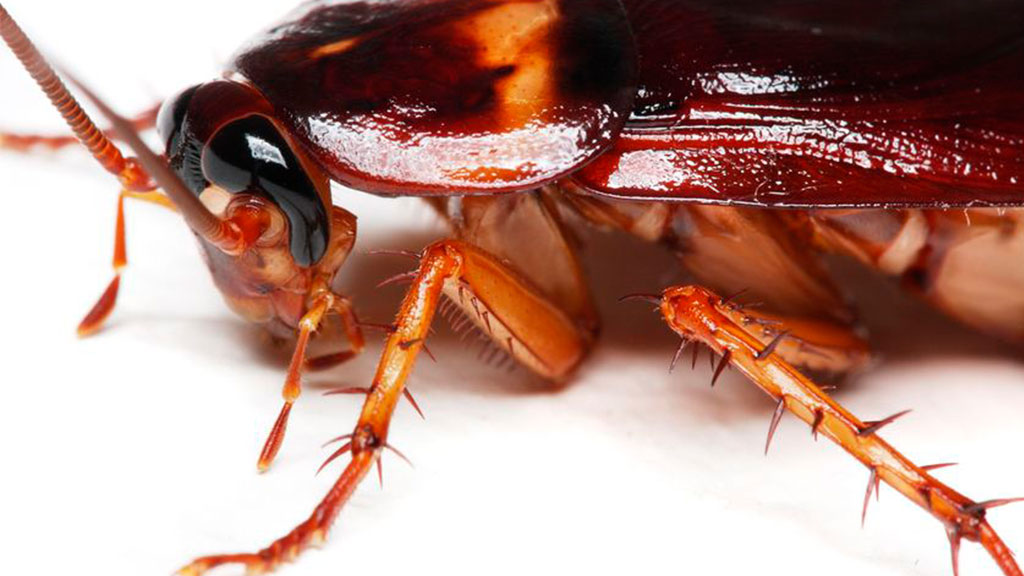 Enfermedades que transmite la cucaracha alemana