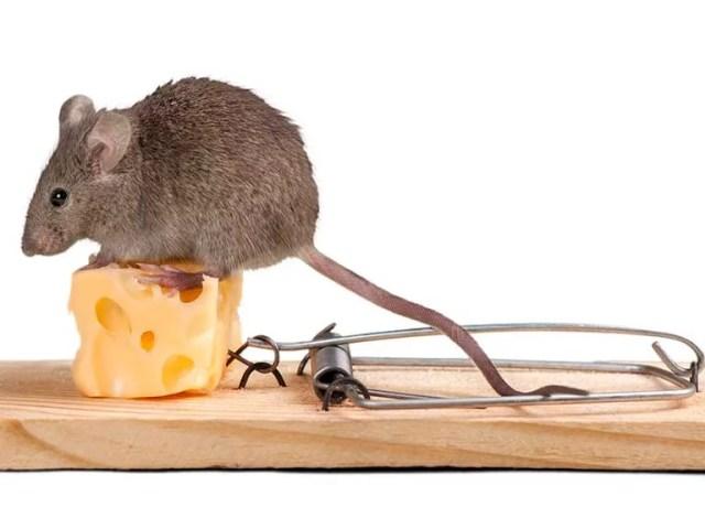 ¿Cómo se arman las trampas para ratones?
